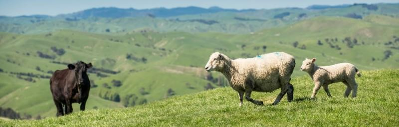 A herd of sheep standing on a lush green field  Description automatically generated